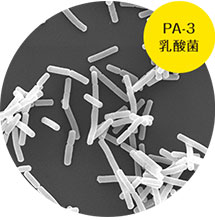 PA-3乳酸菌